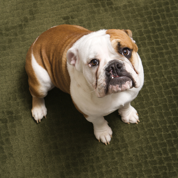 English Bulldog Puppy Sitting on A Carpet